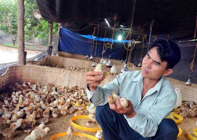 phương pháp cho gà uống thuốc