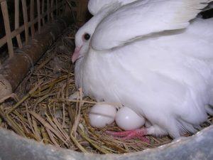 trứng chim bồ câu giả giá rẻ