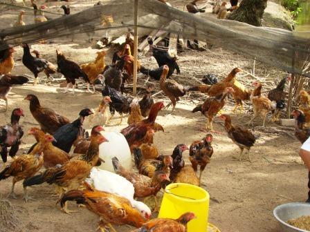 Phòng và điều trị bệnh khô chân ở gà hiệu quả