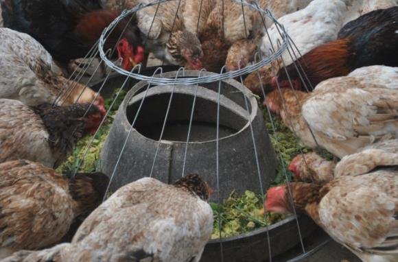 Kinh nghiệm chăm sóc gà mái đẻ trứng