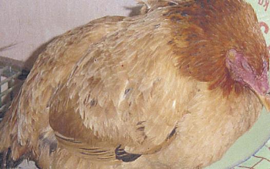 Bệnh tụ huyết trung ở gà