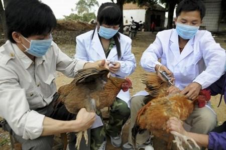 25 bệnh thường gặp ở gà và cách chữa trị