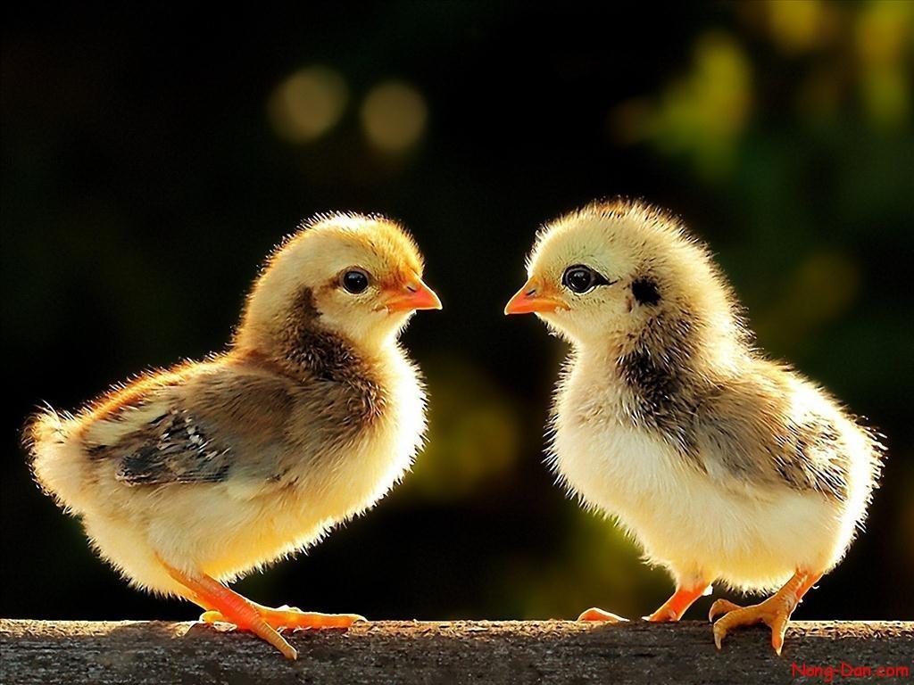 Hiện tượng gà con mới nở ủ rũ, chân và mỏ khô bụng trương to và chết
