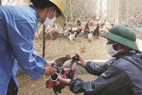 Hướng dẫn cách tiêm cho gà đơn giản nhất