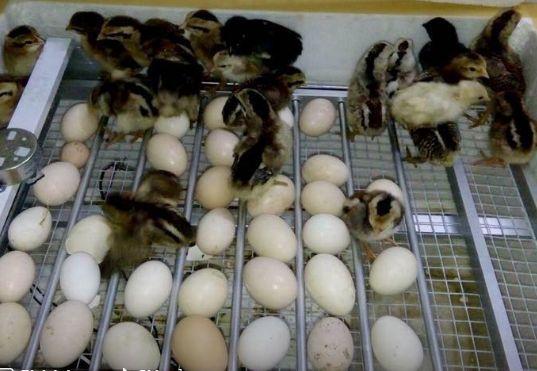 khay đảo trứng dạng lăn