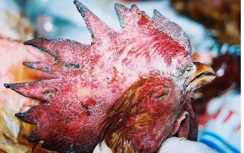 bệnh tụ huyết trùng ở gà và cách phòng bệnh hiệu quả