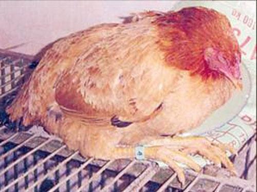 bệnh tụ huyết trùng ở gà và cách phòng trị