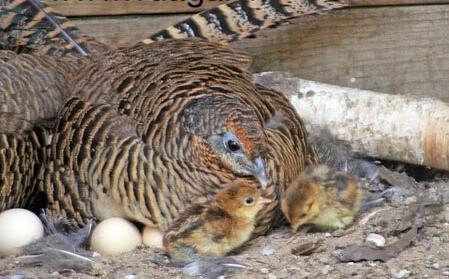 cách ấp trứng chim trĩ hiệu quả