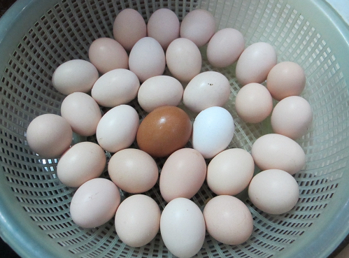 cách bảo quản trứng gà trước khi ấp
