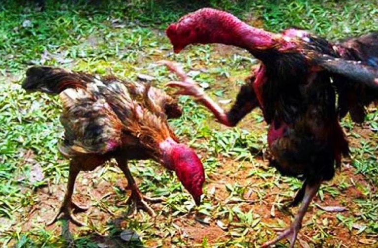 cách làm nước cho gà chọi khi giao đấu