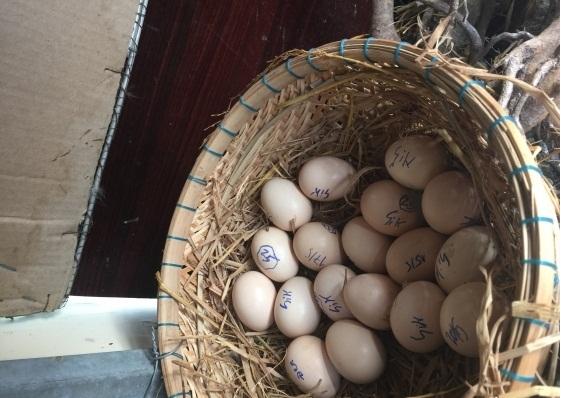 máy ấp trứng mini nào tốt