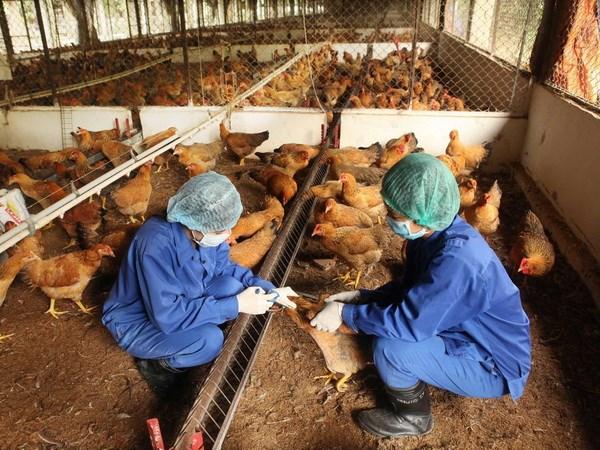 lich làm vaxcin cho gà