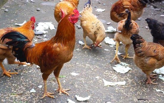 Hiện tượng ấp trứng gà không nở và cách khắc phục 1