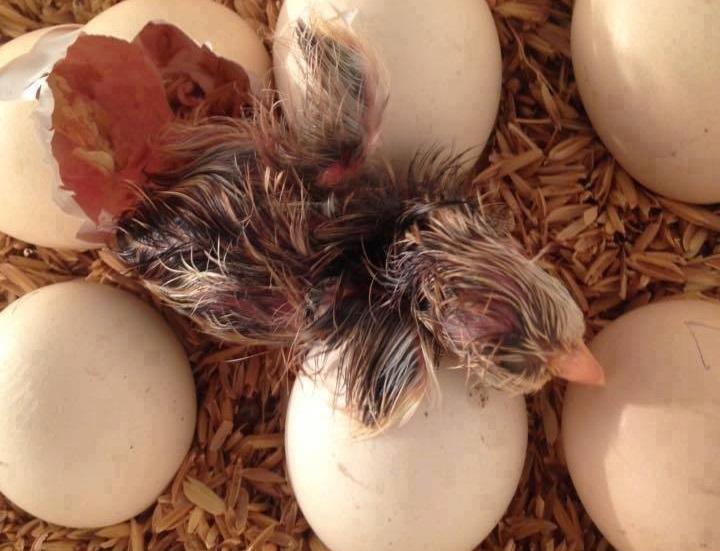 Hiện tượng ấp trứng gà không nở và cách khắc phục