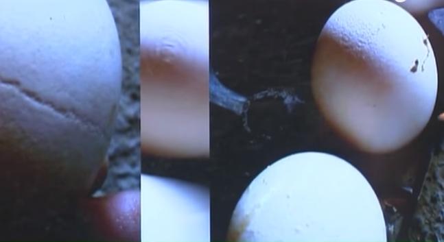 Bí quyết nuôi gà mái đẻ trứng tròn đẹp không bị méo mó sần sùi